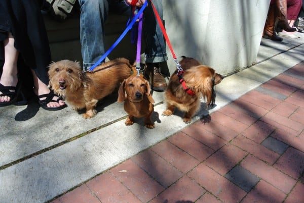 3 dachshunds on leashes