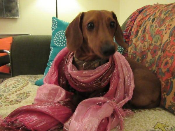 Fashion Dog.