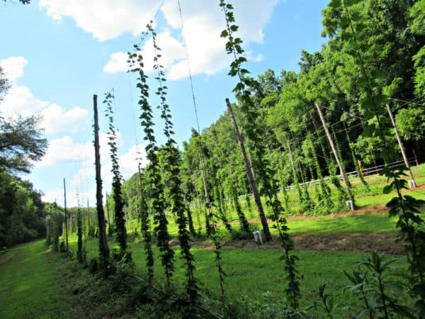Did you know this is how hops grow?